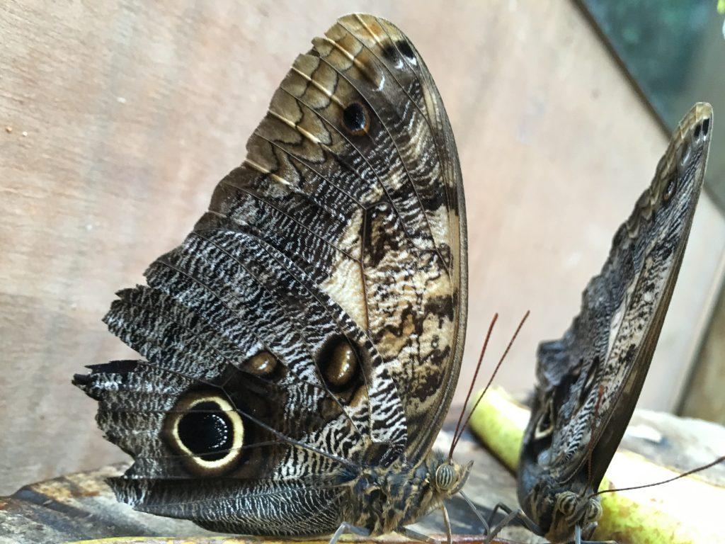 amazonia-glasgow-butterlfies